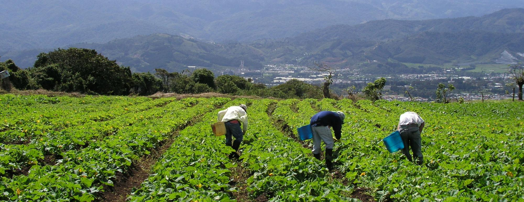 Farmworkers harvesting summer squash in Costa Rica